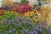 Bahçe marguerite — Stok fotoğraf