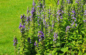 Blue bugle — Stock Photo