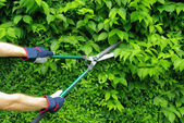 Cut a hedge — Stock Photo