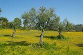 Olive tree wildflower meadow — Stock Photo