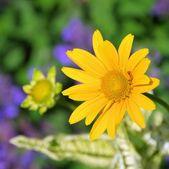 Oxeye daisy — Stock Photo