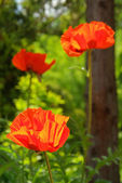 Oriental poppy — Stock Photo