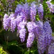 Wisteria — Stock Photo #28744591