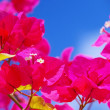 Bougainvillea — Stock Photo #29524853