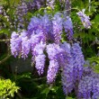 Wisteria — Stock Photo #29798277