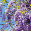 Wisteria — Stock Photo #30036635