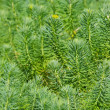 Stock Photo: Cypress spurge