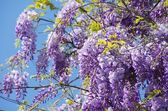 Wisteria — Stock Photo