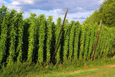 Hopfenfeld - hop field 03 — Stock Photo