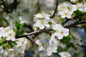Pflaumenbaumbluete - plum blossom 23 — Stock Photo