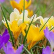 Stock Photo: Crocus 89