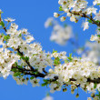 Plum blossom 65 — Stock Photo