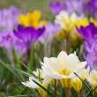 Crocus — Stock Photo #30943059