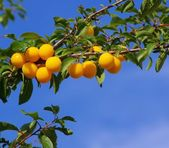 Mirabelle plums at the tree — 图库照片
