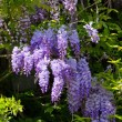 Wisteria — Stock Photo #31142139