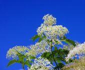 Elder flower — Stock Photo