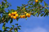 Mirabelle plums at the tree — Stock Photo