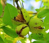 Walnut tree — Foto de Stock