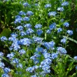 Forget-me-not — Stock Photo #31447657