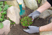 Planting a saxifraga bryoides — Stock Photo