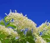 Elder flower — Foto Stock