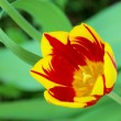 Tulip red yellow 02 — Stock Photo