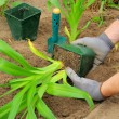 Planting daylily — Stock Photo #31455235