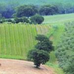 Tuscany vineyard — Stock Photo #31456657