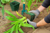 Planting a daylily — Stock Photo