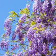 Close-up Wisteria — Stock Photo #31867961