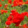 Stock Photo: Close-up corn poppy