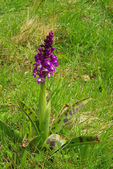 Close-up western marsh orchid — Stock Photo