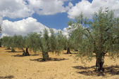 Olivenhain - olive grove — Stock Photo