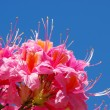 Stock Photo: Close-up azalea