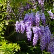 Close-up Wisteria — Stock Photo #33165477
