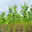Stock Photo: Cultivated Tobacco