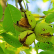 Walnut tree — Stock Photo #33168941