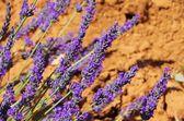 Close-up lavender — Stock Photo