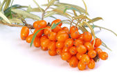 Branch of sea-buckthorn — Stock Photo
