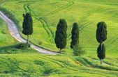 Tuscany cypress trees with track — Stock Photo
