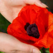 Stock Photo: Oriental poppy in hands