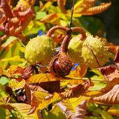 Close-up chestnut on tree — Stock Photo
