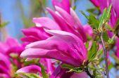 Close-up magnolia — Stock Photo