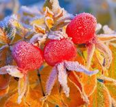 Berry winter — Stock Photo
