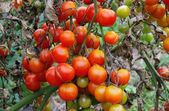 Tomato late blight — Stock Photo