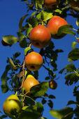 Close-up pear — Stock Photo