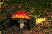 Fly agaric close-up — Stock Photo