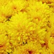 Chrysanthemum — Stock Photo #33557429
