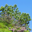 Pine tree — Stock Photo #33564629