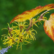 Hamamelis virginiana — Stock Photo #33761043